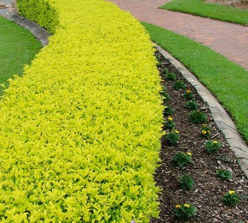 Cuban gold duranta bright yellow green color this for Planta ornamental garbancillo
