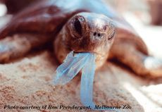 Turtle rescued by a staff member from Melbourne Zoo - -plastic bags in the ocean