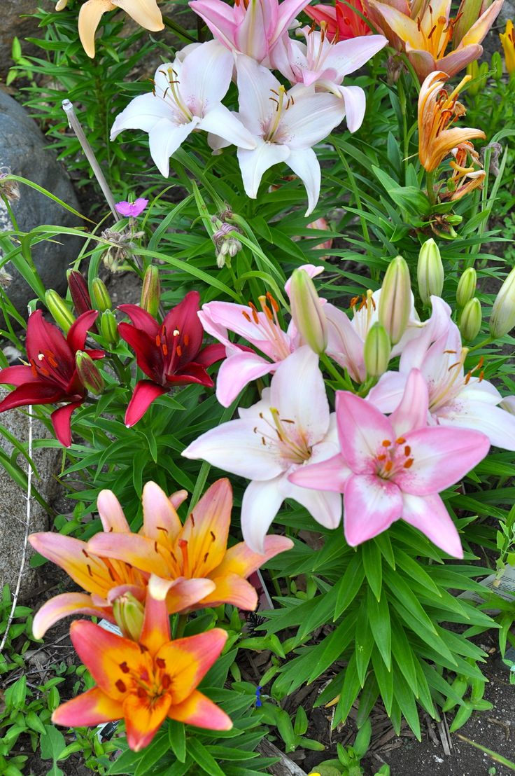 best lily images on pinterest beautiful flowers asiatic lilies