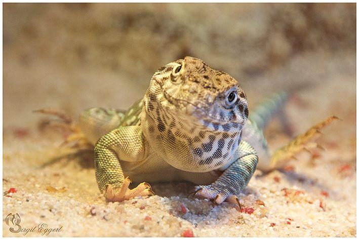 Common collared lizard (Crotaphytus collaris)