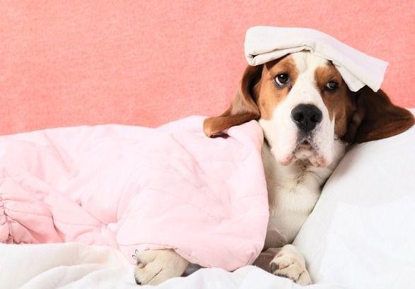 Você sabe como proteger o seu cachorro desta doença? Confira as dicas! A Leishmaniose é uma doença que acomete muitos cães, e que o melhor remédio é sempre a prevenção. Mas, você sabe como proteger...