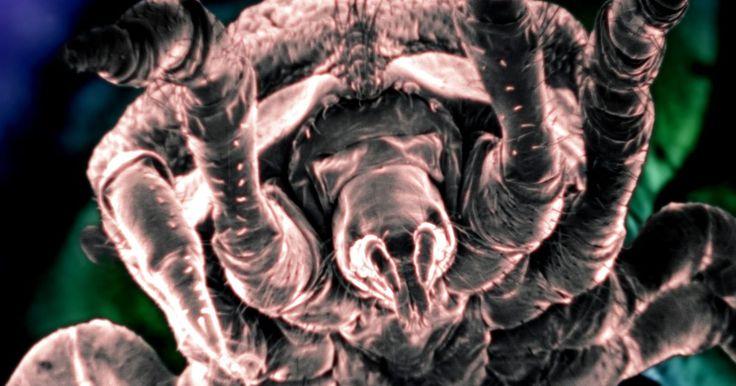 """Remedios caseros para las garrapatas. Las garrapatas son pequeños arácnidos parásitos que se alimentan de la sangre de los mamíferos, los reptiles y los anfibios. Cuando una garrapata encuentra un huésped, muerde la piel de su víctima y le inserta un tubo alimentador. Según Alan S. Bowman y Patricia A. Nuttall, autores de """"Ticks: Biology, Disease and Control"""" (Garrapatas: biología, ..."""