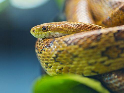 The common corn snake (Pantherophis guttatus)
