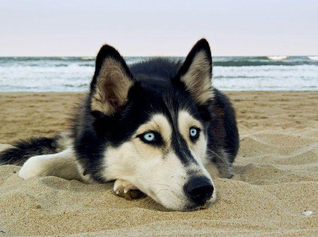 http://bi.gazeta.pl/im/69/8e/12/z19458409Q,Husky-syberyjskie-sa-genetycznie-dosc-bliskie-pier.jpg