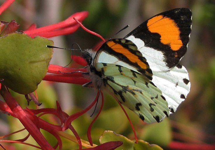 Eroessa chilensis es la mariposa más primitiva de Chile. El diseño y los comportamientos reproductivos y alimenticios que desarrolla, fueron claves al momento de identificar esta condición. En la fotografía, el espécimen visita una flor de color rojo, como es habitual en esta especie. Fotografía: Península de Tumbes. Talcahuano. René Canifrú, TEC Cerrado.