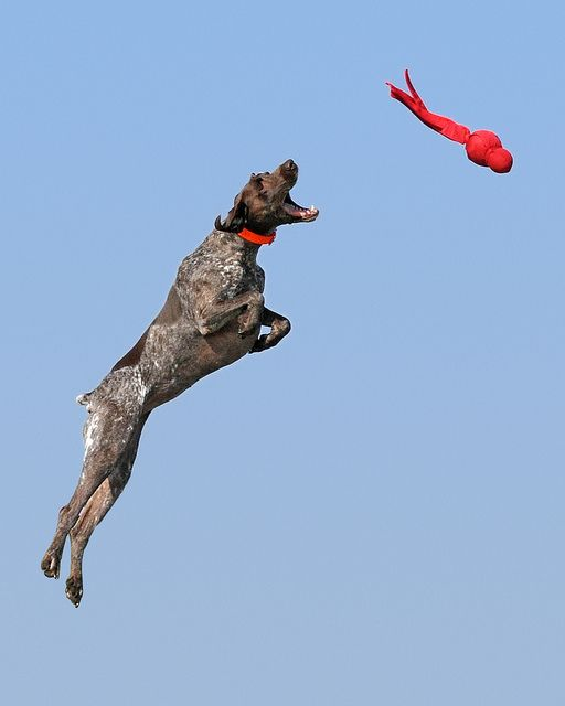 Bailey in the air by The_Little_GSP, via Flickr