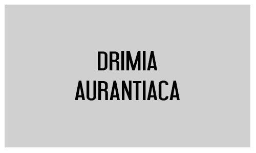 Drimia aurantiaca