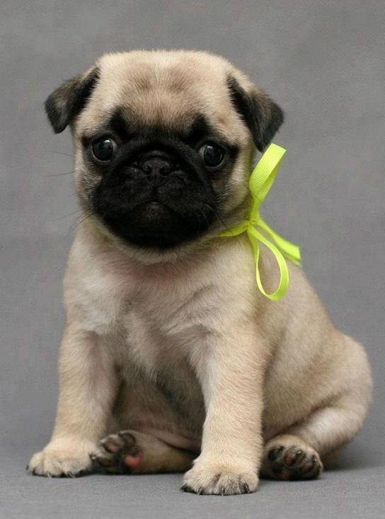 Cute Pug Puppy Hey... dogs lover... check out our site now! :-)