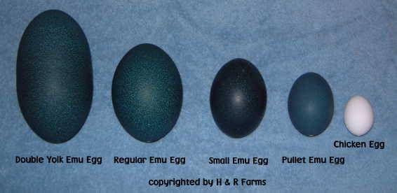 emu egg - Google Search