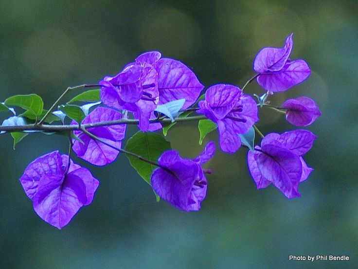 Blue Bougainvillea Flowers | Flower Meanings, Pictures and ...