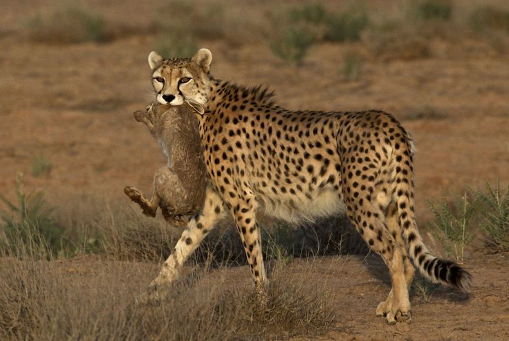 Iran is rushing to try to save one of the world's critically endangered species, the Asiatic cheetah
