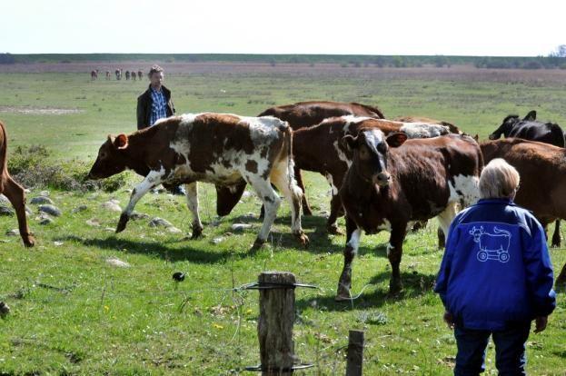 Køer slap løs på Saksfjed før tid | folketidende.dk - Lolland & Falster samlet på et sted