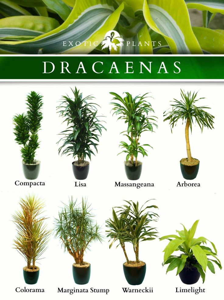 Latin Name: Dracaenas;  Common Name: Bamboo plant, corn plant and alike;  Type: houseplant