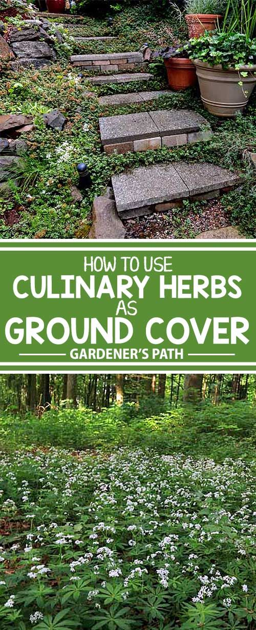 A number of culinary herbs make excellent groundcover, adding variety, texture, and beauty to the garden and sublime flavor to meals. Learn more about these versatile plants now at Gardener's Path!