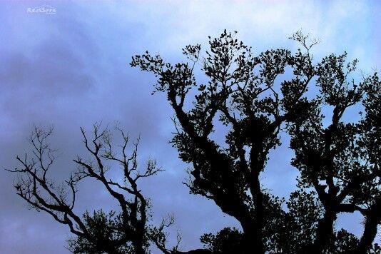 Se apronta una tormenta en Hornopirén #cielotormentoso #arboles #contraluz #tormenta