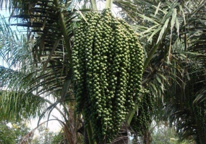 Pohon enau atau aren (Arenga pinnata) banyak manfaatnya. Dari buahnya didapatkan kolang-kaling, salah satu cemilan populer di bulan puasa. Sedangkan nira atau air yang menetes dari tandan bunga jantannya bisa diolah menjadi gula aren.