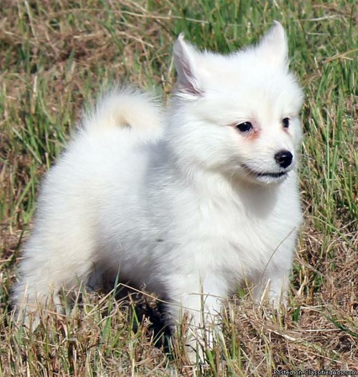 126 Best Images About Pomsky Puppies Adorable On Pinterest