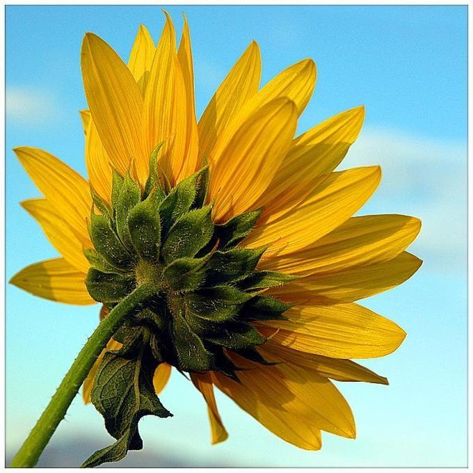 Sunflower 2: Photo by Photographer Melissa Papaj - photo.net