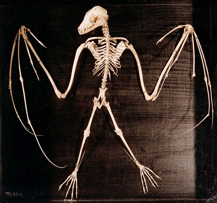 A skeleton of a bat. They are not much different than we are.... five fingers, five toes...