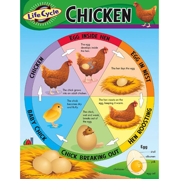 """Learn about the life cycle stages of the chicken. Back of chart features reproducible sheets, activities, and helpful teaching tips. 17"""" x 22"""" classroom size."""