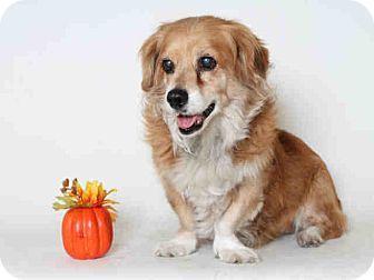 Lomita, CA - Pembroke Welsh Corgi Mix. Meet Foxy, a dog for adoption. http://www.adoptapet.com/pet/17052648-lomita-california-pembroke-welsh-corgi-mix