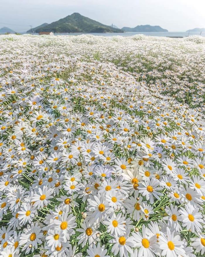 A Daisy Field In Japan In 2021 Daisy Field Beautiful Places Nature Beautiful World