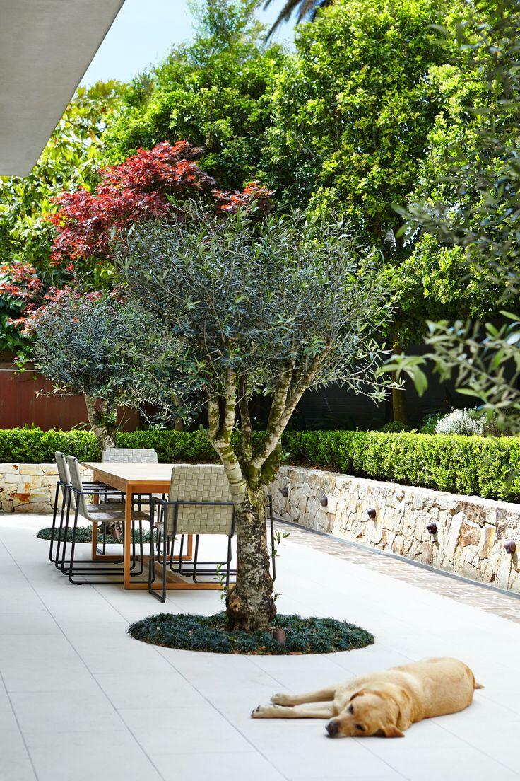 Ex-Ground Olive Trees craned into this garden - Outdoor Establishments