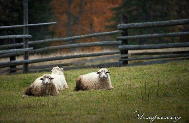 Как встречать 2015 год овцы (козы)? Многие задаются вопросом: 2015 год овцы как встречать, с семьей или отправиться в путешествие? В этом случае полезно пойти на компромисс и послушать бой курантов в кругу семьи, но в путешествии. А вот куда поехать на Рождество и Новый год можно посмотреть здесь -  http://xn--h1aaomgdde.org/kuda-poekhat/1434-kuda-poekhat-na-rozhdestvo-i-novyj-god
