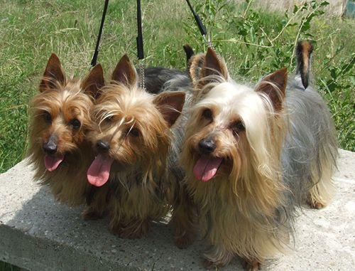 Австралийский шелковистый терьер мелкая порода собак 23 – 27 см в холке, а масса тела максимум 5-6 килограмм. Номер FCI:236. Это охотничья порода собак...