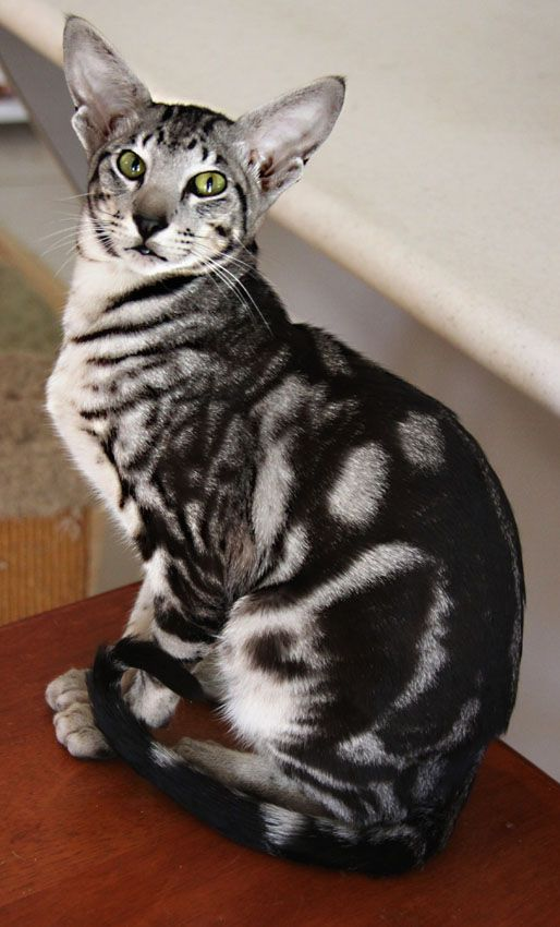 oriental shorthair breeder - Google Search | Crazy cats ...