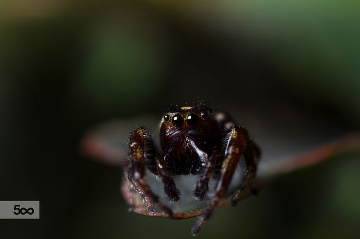 An other Jumping spider found in the small town called Gallichan.(Quebec Area)