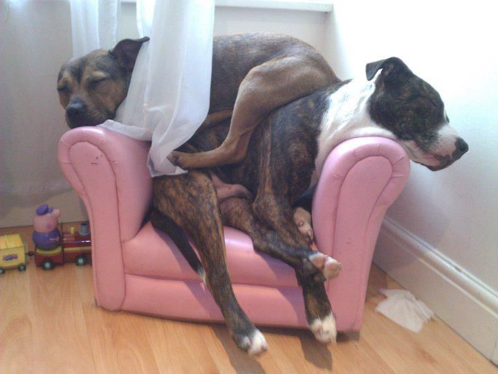 layered: Nap Time, Cuddly Animals, Pit Bull, Doubledog Nap, Doggie Nap, Animals Pitties, Naps
