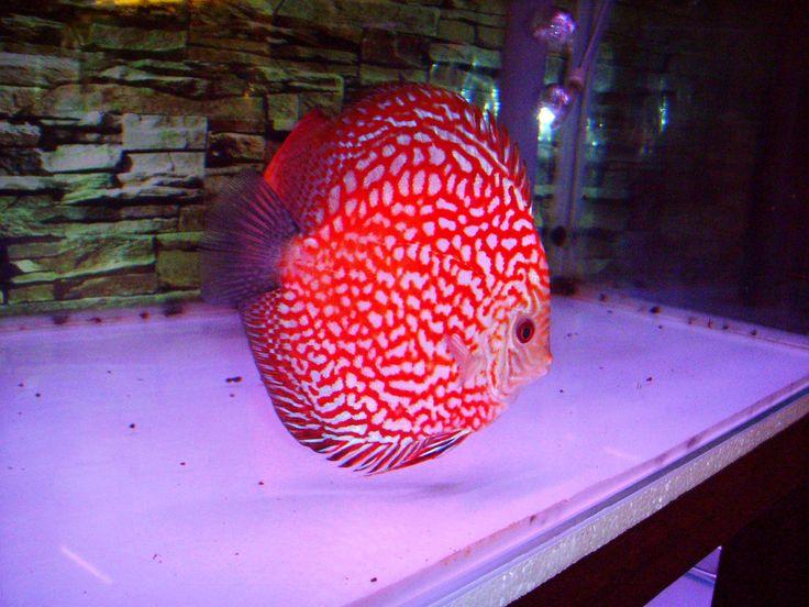 Red map discus Aquarium Pinterest