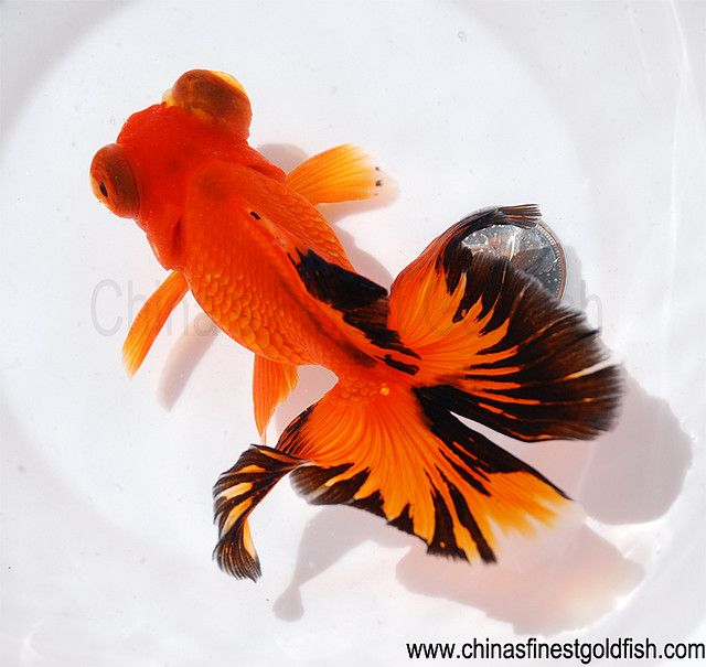 Butterfly-tailed goldfish...
