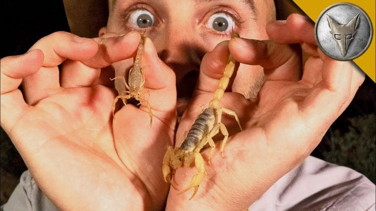 Coyote Peterson Compares the Respective Stings of Both the Largest and Smallest Scorpions in Arizona