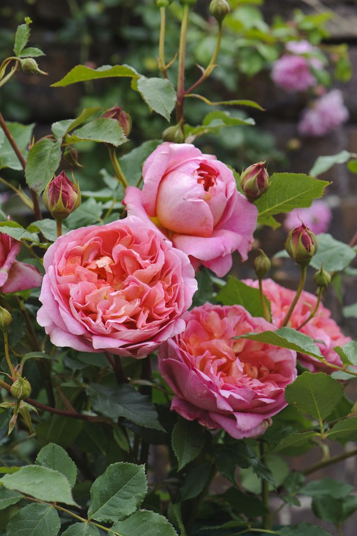 Boscobel David Austin Roses имеет прекрасно сложенные цветы насыщенно лососевого цвета. Изначально красные бутоны превращаются в чашевидной формы цвет с многочисленными маленькими лепестками разных оттенков, сочетание которых производит неизгладимое впечатление. Сильный аромат с характерными оттенками боярышника, бузины, груши и миндаля. Вертикальный куст среднего размера с темно-зеленой, глянцевой листвой, h=90, w=70