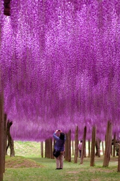 Fuji, or Wisteria, is the flower of love in #Japan. See their bright purple hues on a visit to Fuji-Hakone-Izu National Park.
