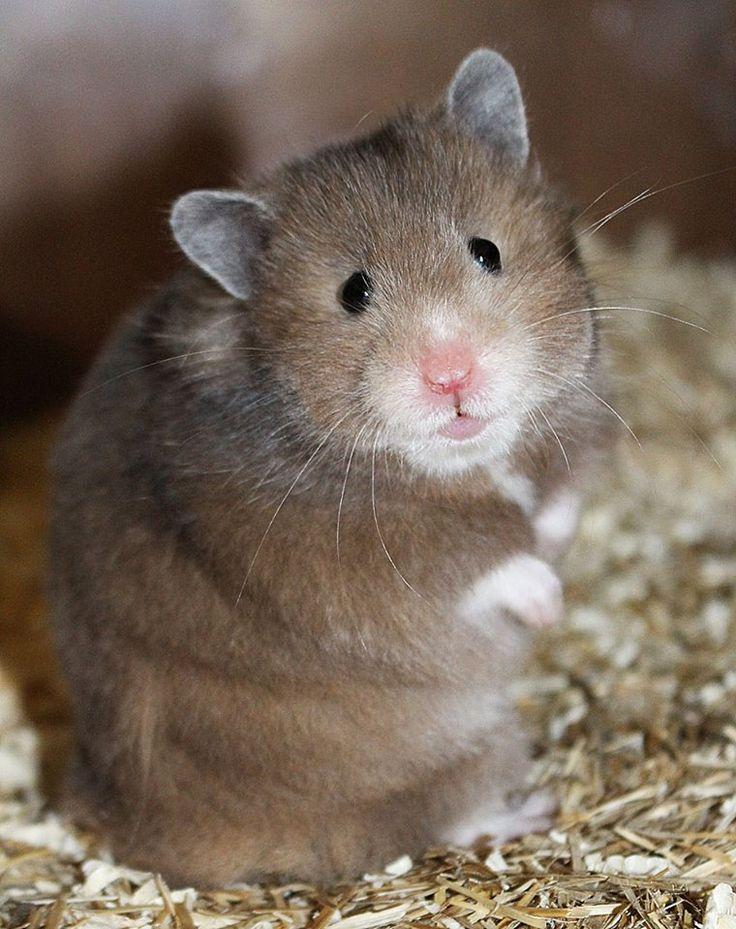 Best hamster images on pinterest animals