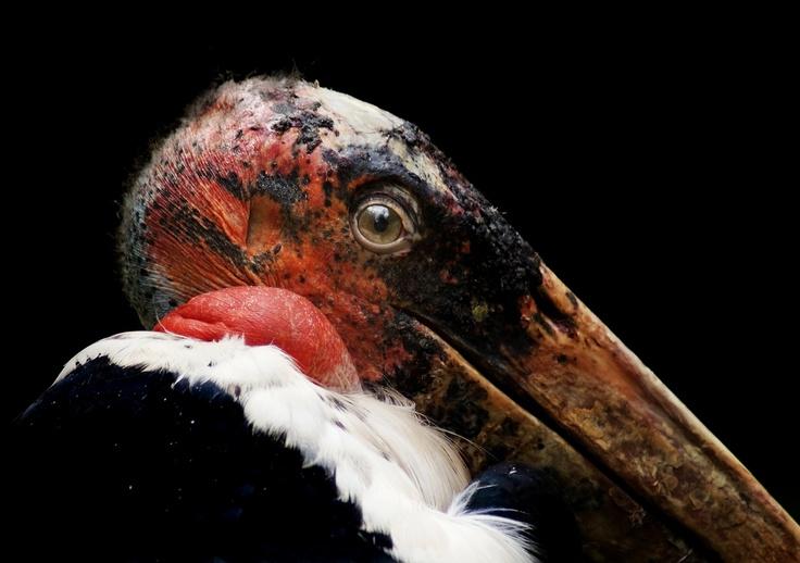 Andean condor (vultur gryphus) nesting in northeastern ...