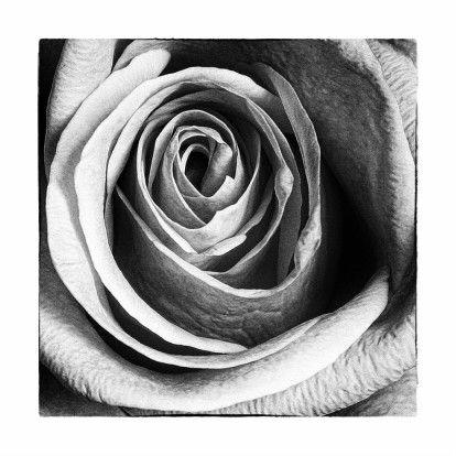 Zwart Wit afbeelding Roos 1