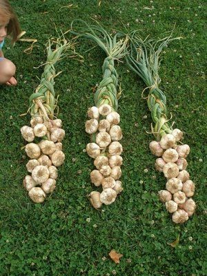 Preserving the garlic harvest - Garlic Braiding Tutorial