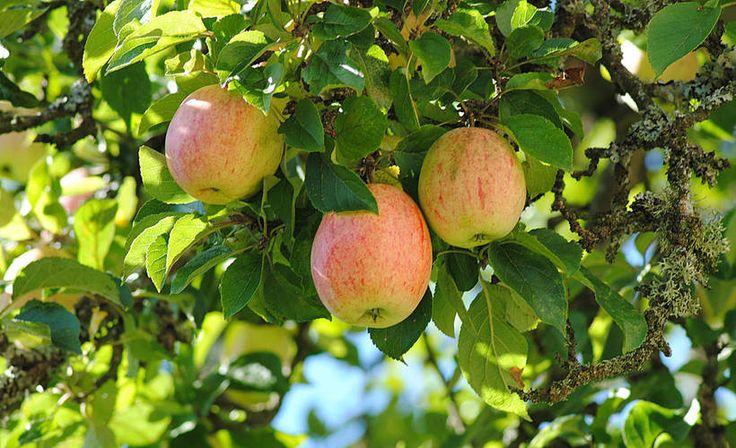 Helppo tapa säilöä omenat - omenasose maistuu aina! | ruoka-artikkelit | Iltalehti.fi