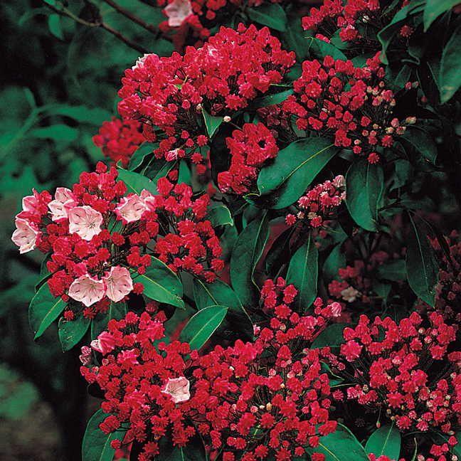 'Olympic Fire' Kalmia latifolia (Kalmia latifolia Olympic Fire) at Wayside Gardens