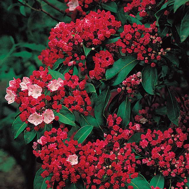 Shade shrub: Olympic Fire Kalmia latifolia Mountain Laurel Shrub