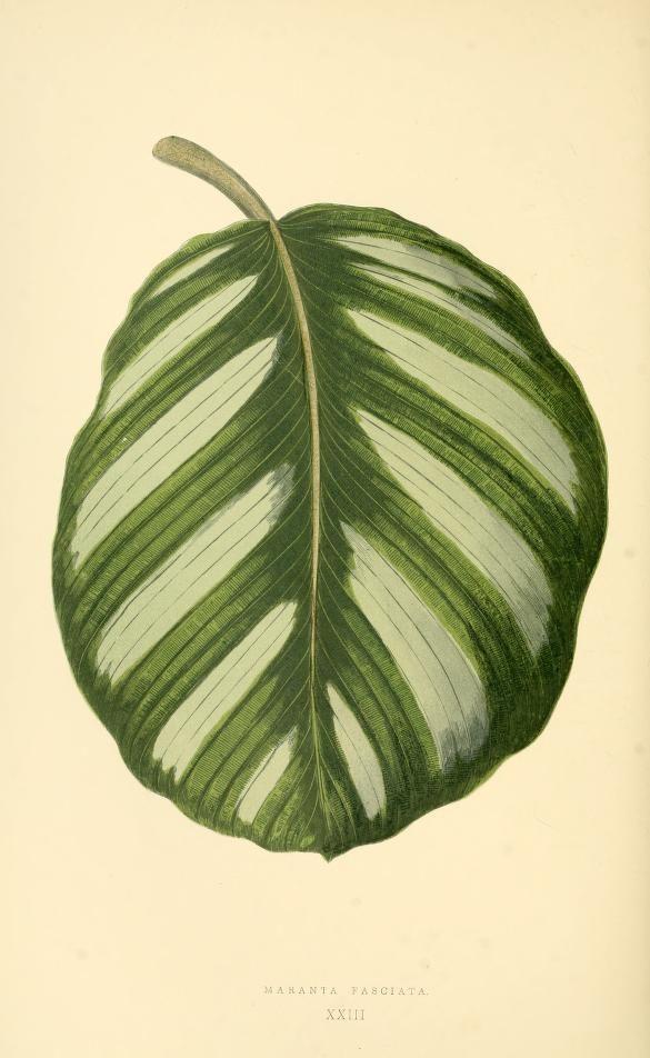 1870 Lowe: Beautiful Leaved Plants - 60 color plates, fine gilt leather binding