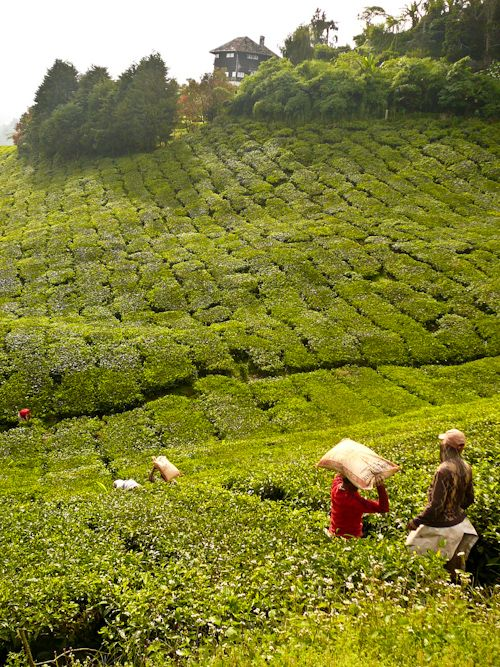 BOH Tea Plantation, Cameron Highlands, Malaysia~ Been there :)
