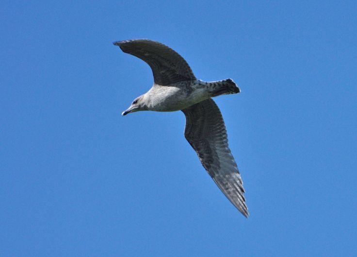 Juvenile Gull by PomPrint.deviantart.com