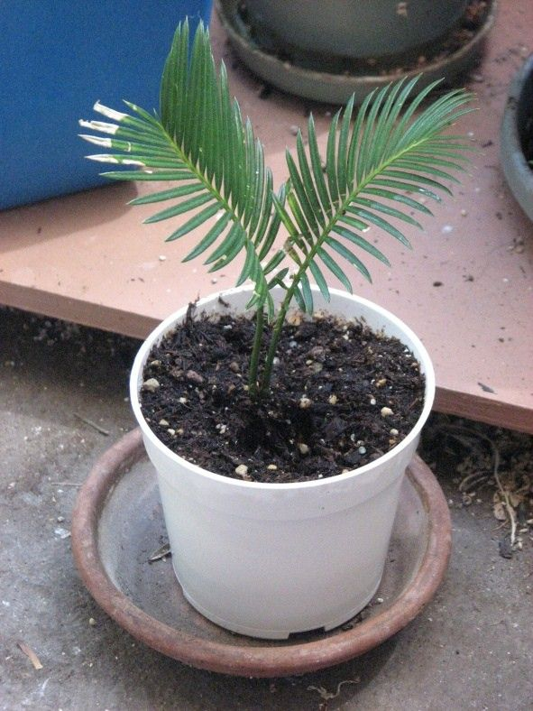 Sagos only need repotting every one or two years. When the time comes, however, it's important to move your sago palm to a new container to ensure its healthy growth. This article will help get you started with how to repot a sago palm plant.