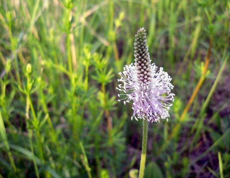 Псиллиум - уникальный продукт. Это шелуха из семян подорожника, обладающая многочисленными полезными свойствами. Купить псиллиум у нас непросто. Применение