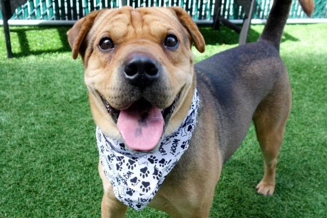 CAPTAIN - A1126382  - - Manhattan  TO BE DESTROYED 09/27/17 **NEEDS A NEW HOPE RESCUE TO PULL** A volunteer writes: Who has the cutest won ton ears in NYC? Captain, that's who! Add a smattering of wrinkles on his forehead, a curly tail, and a dollop of color on his tongue and what do you have? A Shar Pei mix named Captain! Quiet in his kennel, low key and respectful, Captain has been gorgeously cared for and it shows–right down to his trimmed nails! Showing of